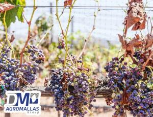 malla-antipajaro-antibirds-tenax-vinicola-ensenada-dmagromallas-dmtecnologias-7