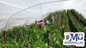 malla-para-chiles-plastico-para-invernadero-dm-agromallas-dmtecnologias-6