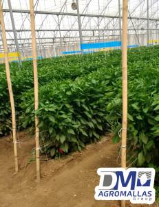 malla-para-chiles-plastico-para-invernadero-malla-tutora-dm-agromallas-dmtecnologias-11